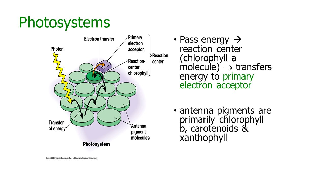 Photosystems Pass energy  reaction center (chlorophyll a molecule)  transfers energy to primary electron acceptor antenna pigments are primarily chlorophyll b, carotenoids & xanthophyll