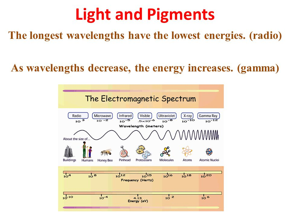 Light and Pigments The longest wavelengths have the lowest energies.