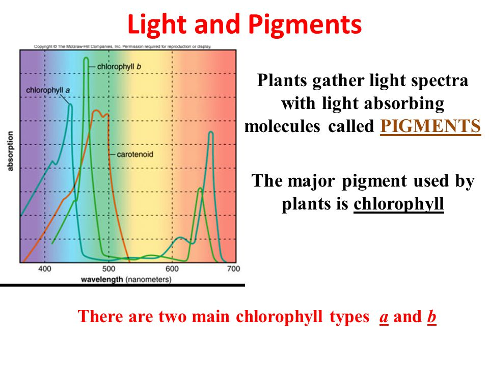 Light and Pigments Plants gather light spectra with light absorbing molecules called PIGMENTS The major pigment used by plants is chlorophyll There are two main chlorophyll types a and b