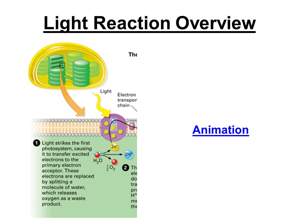 Light Reaction Overview Animation