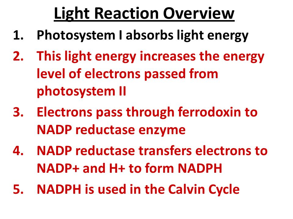 Light Reaction Overview 1.Photosystem I absorbs light energy 2.This light energy increases the energy level of electrons passed from photosystem II 3.Electrons pass through ferrodoxin to NADP reductase enzyme 4.NADP reductase transfers electrons to NADP+ and H+ to form NADPH 5.NADPH is used in the Calvin Cycle