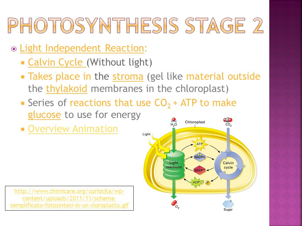  Light Independent Reaction:  Calvin Cycle (Without light)  Takes place in the stroma (gel like material outside the thylakoid membranes in the chloroplast)  Series of reactions that use CO 2 + ATP to make glucose to use for energy  Overview Animation Overview Animation http://www.chimicare.org/curiosita/wp- content/uploads/2011/11/schema- semplificato-fotosintesi-in-un-cloroplasto.gif