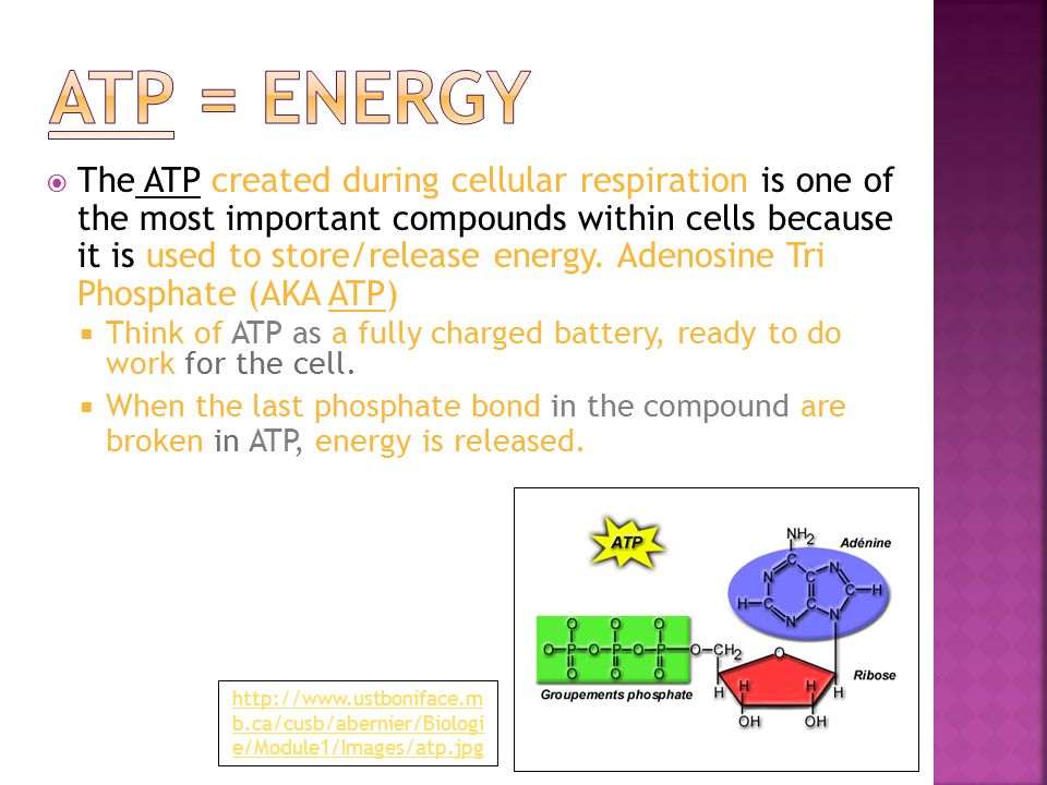  The ATP created during cellular respiration is one of the most important compounds within cells because it is used to store/release energy.