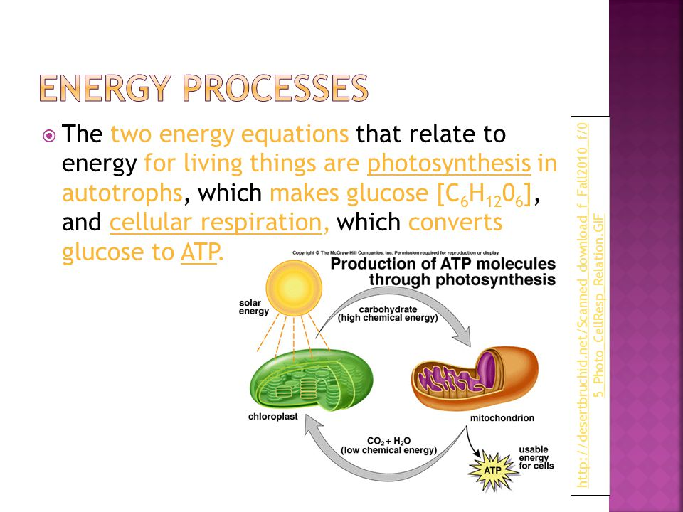 The two energy equations that relate to energy for living things are photosynthesis in autotrophs, which makes glucose [C 6 H 12 0 6 ], and cellular respiration, which converts glucose to ATP.