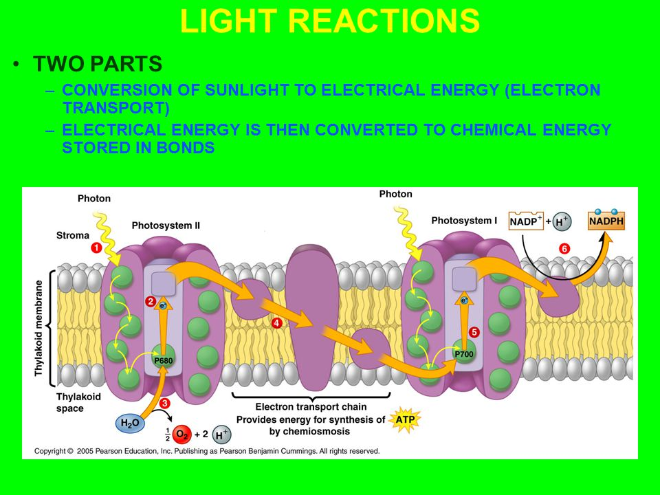 LIGHT REACTIONS TWO PARTS –CONVERSION OF SUNLIGHT TO ELECTRICAL ENERGY (ELECTRON TRANSPORT) –ELECTRICAL ENERGY IS THEN CONVERTED TO CHEMICAL ENERGY ST