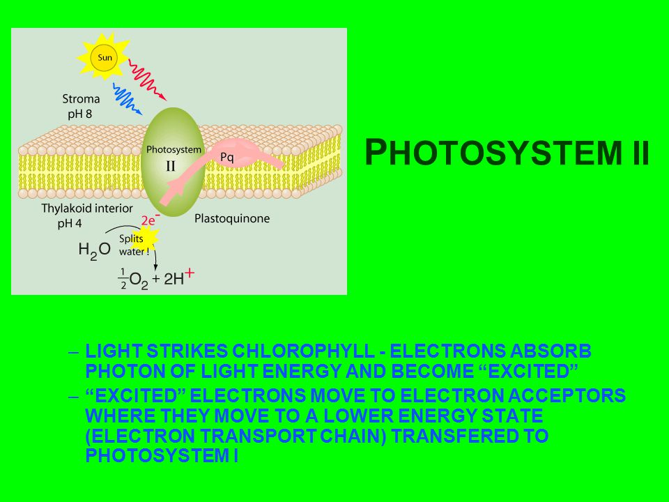 """P HOTOSYSTEM II –LIGHT STRIKES CHLOROPHYLL - ELECTRONS ABSORB PHOTON OF LIGHT ENERGY AND BECOME """"EXCITED"""" –""""EXCITED"""" ELECTRONS MOVE TO ELECTRON ACCEPT"""