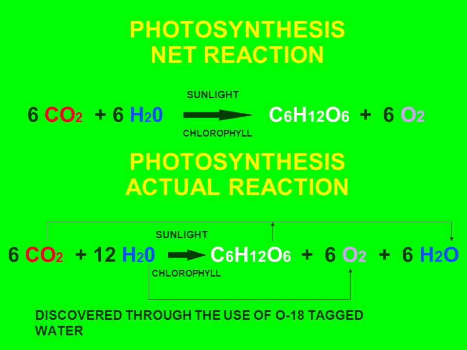 LIGHT ABSORBTION BY CHLOROPHYLL CHLOROPHYLL A IS THE PRIMARY PHOTOSYNTHETIC PIGMENT CHLOROPHYLL B, CAROTENE, PHYCOBILINS, XANTHROPHYLL, AND OTHER PIGMENTS ARE ACCESSORY PIGMENTS LOCATED IN THYLAKOID MEMBRANE OF THE CHLOROPLAST ABSORBS RED AND BLUE LIGHT, REFLECTS GREEN LIGHT ACCESSORY PIGMENTS TRAP GREEN AND YELLOW LIGHT AND TRANSFER IT TO CHLOROPHYLL A (allow greater use of available energy)