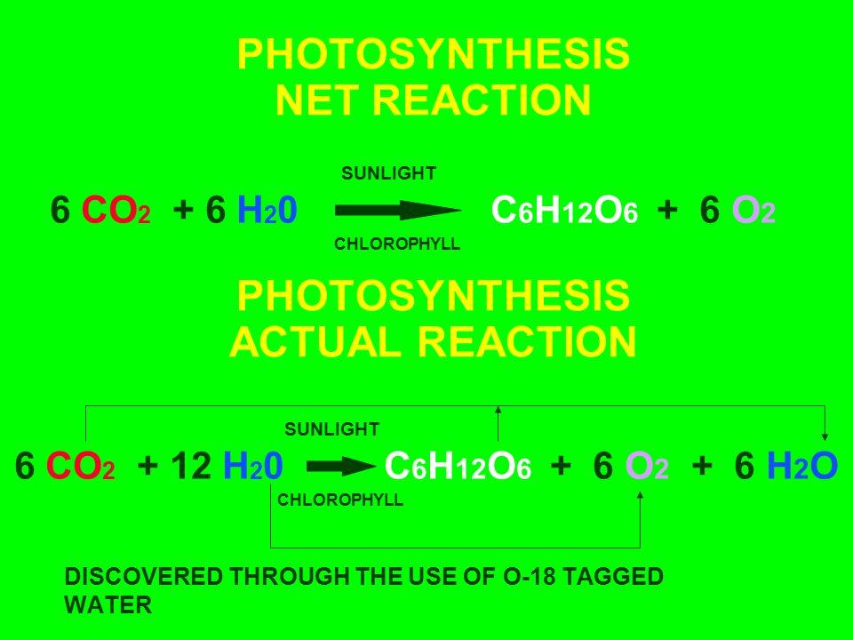 PHOTOSYNTHESIS NET REACTION 6 CO 2 + 12 H 2 0 SUNLIGHT CHLOROPHYLL C 6 H 12 O 6 + 6 O 2 + 6 H 2 O 6 CO 2 + 6 H 2 0C 6 H 12 O 6 + 6 O 2 SUNLIGHT CHLORO