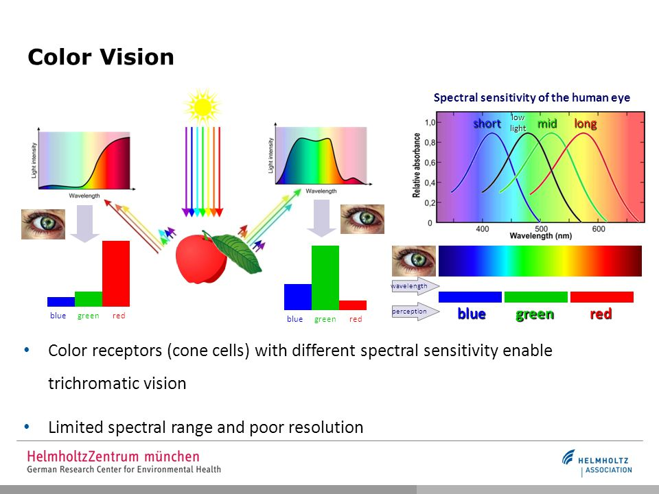 Color Vision redgreenblue redgreenblue Spectral sensitivity of the human eye longmidshort low light wavelength perception Color receptors (cone cells) with different spectral sensitivity enable trichromatic vision Limited spectral range and poor resolution redgreenblue
