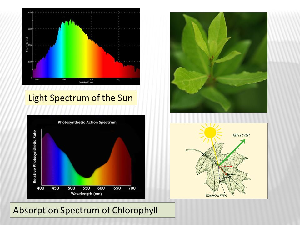 Light Spectrum of the Sun Absorption Spectrum of Chlorophyll