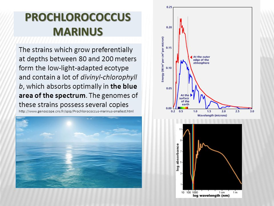 PROCHLOROCOCCUS MARINUS The strains which grow preferentially at depths between 80 and 200 meters form the low-light-adapted ecotype and contain a lot of divinyl-chlorophyll b, which absorbs optimally in the blue area of the spectrum.