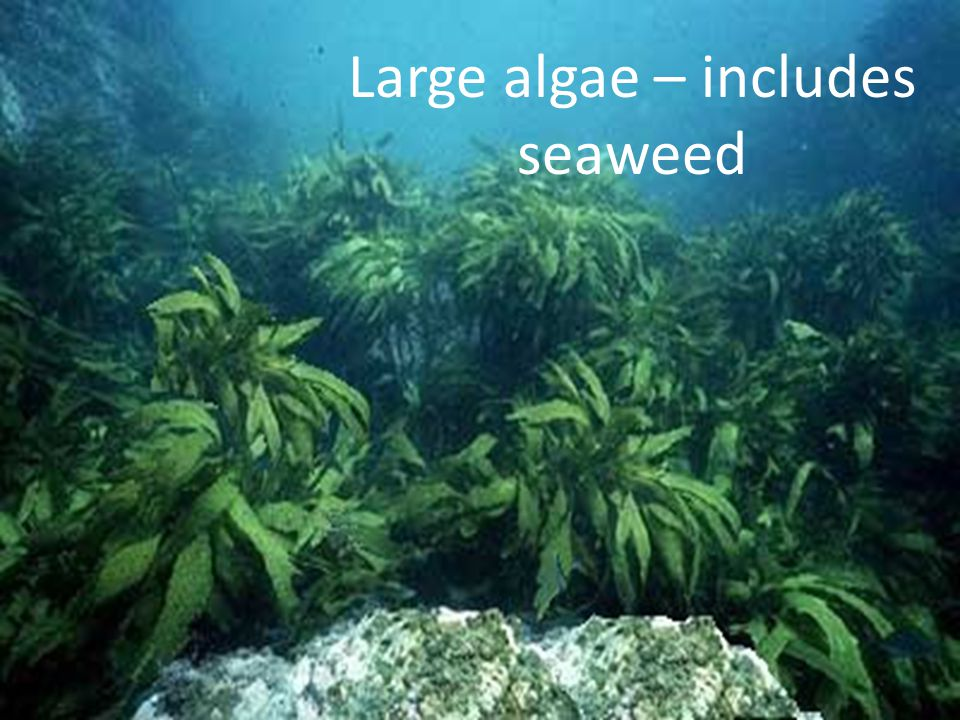 Large algae – includes seaweed