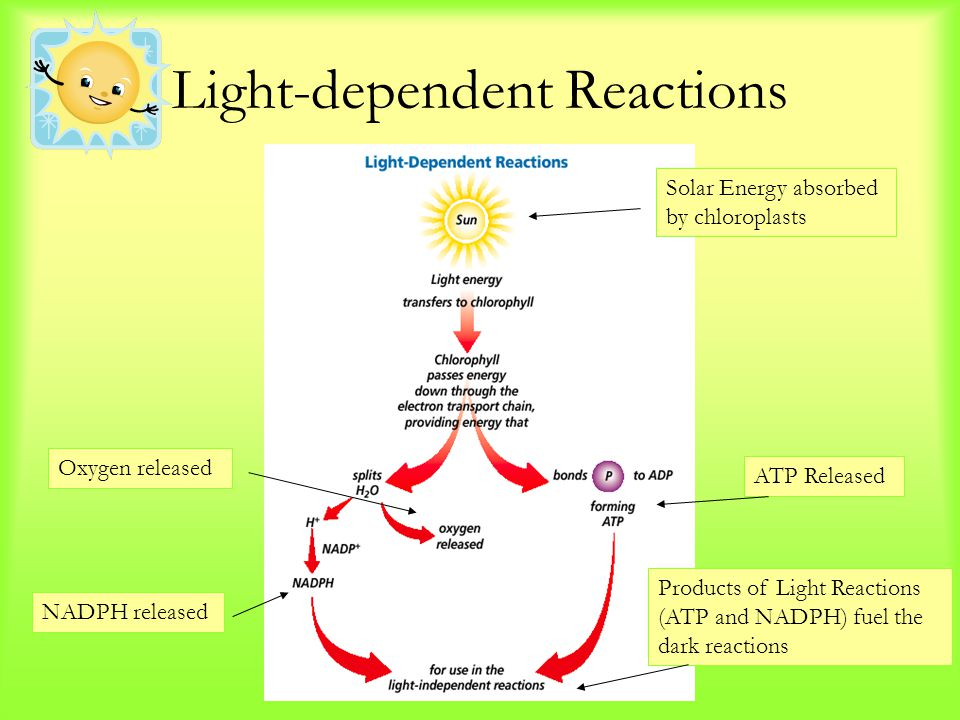 Light-dependent Reactions Solar Energy absorbed by chloroplasts NADPH released Oxygen released ATP Released Products of Light Reactions (ATP and NADPH) fuel the dark reactions
