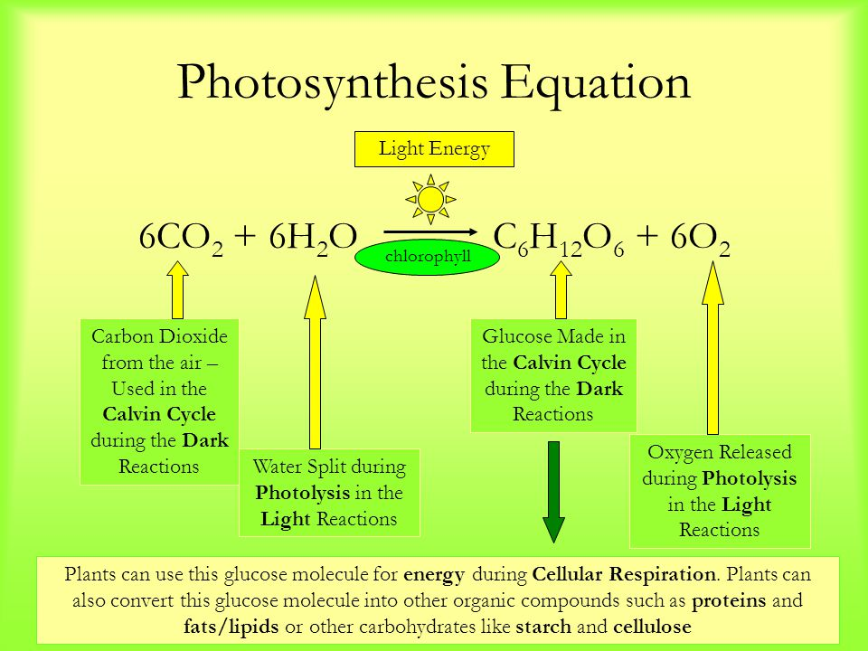 Photosynthesis Equation 6CO 2 + 6H 2 O C 6 H 12 O 6 + 6O 2 Carbon Dioxide from the air – Used in the Calvin Cycle during the Dark Reactions Water Split during Photolysis in the Light Reactions Glucose Made in the Calvin Cycle during the Dark Reactions Oxygen Released during Photolysis in the Light Reactions Light Energy chlorophyll Plants can use this glucose molecule for energy during Cellular Respiration.