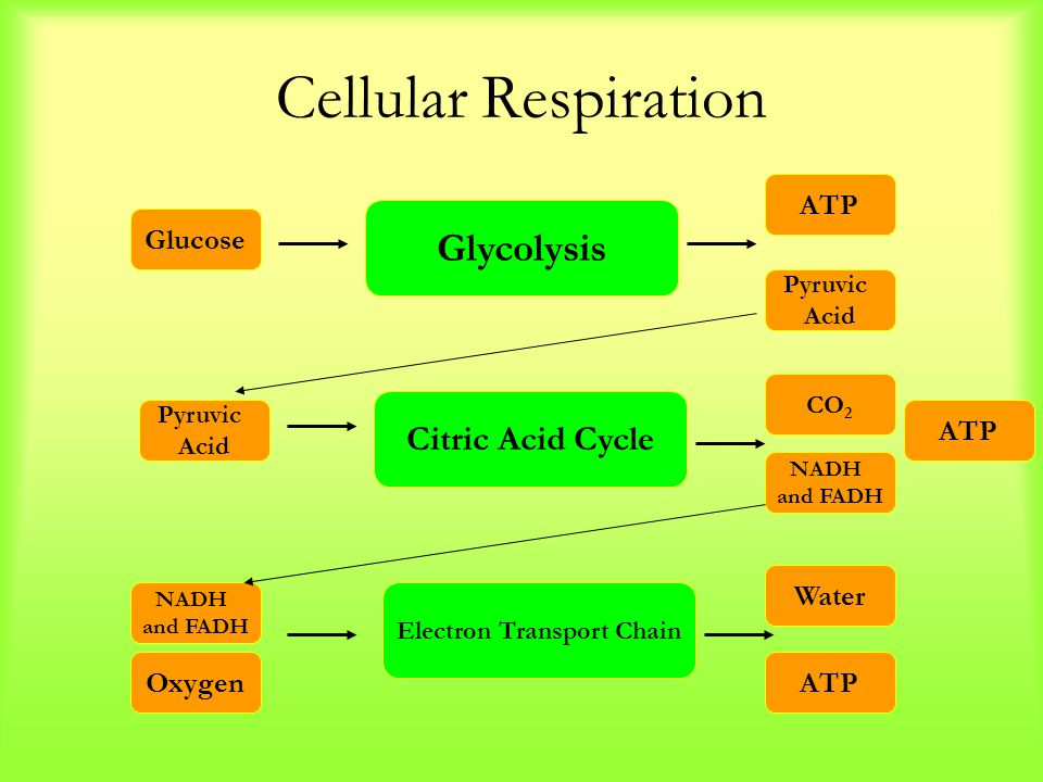 Cellular Respiration Glycolysis Citric Acid Cycle Electron Transport Chain Glucose Pyruvic Acid ATP Pyruvic Acid CO 2 ATP NADH and FADH Oxygen Water