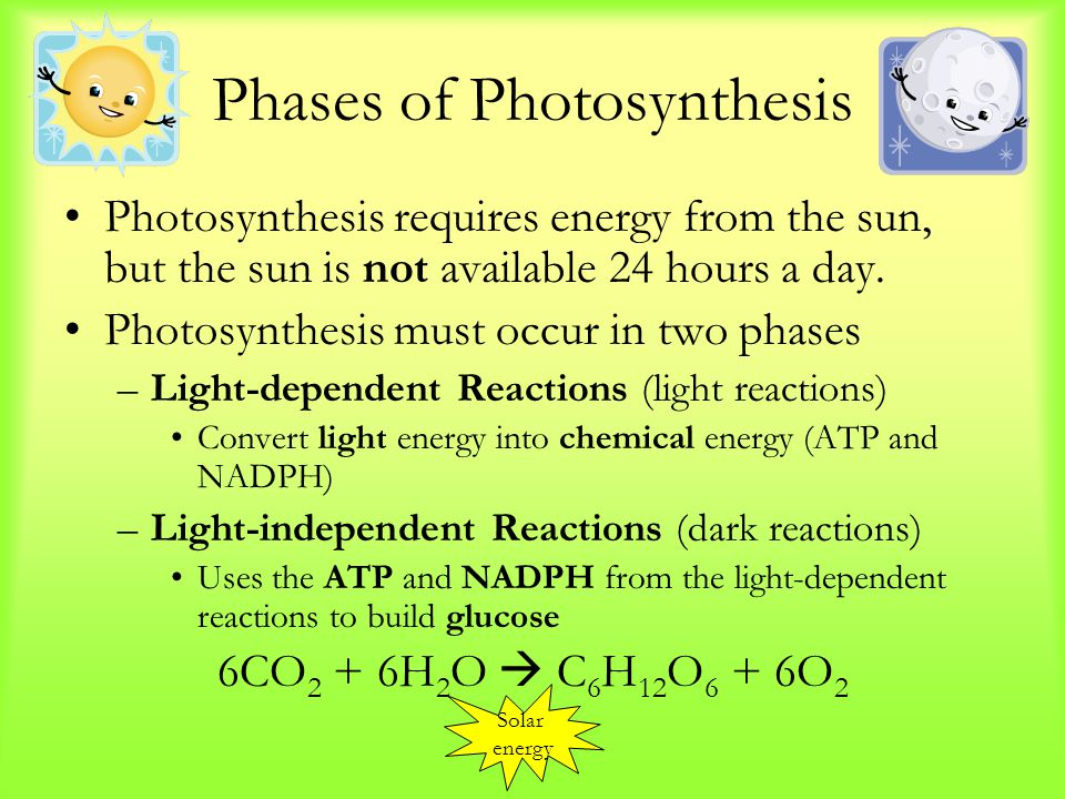 Phases of Photosynthesis Photosynthesis requires energy from the sun, but the sun is not available 24 hours a day.