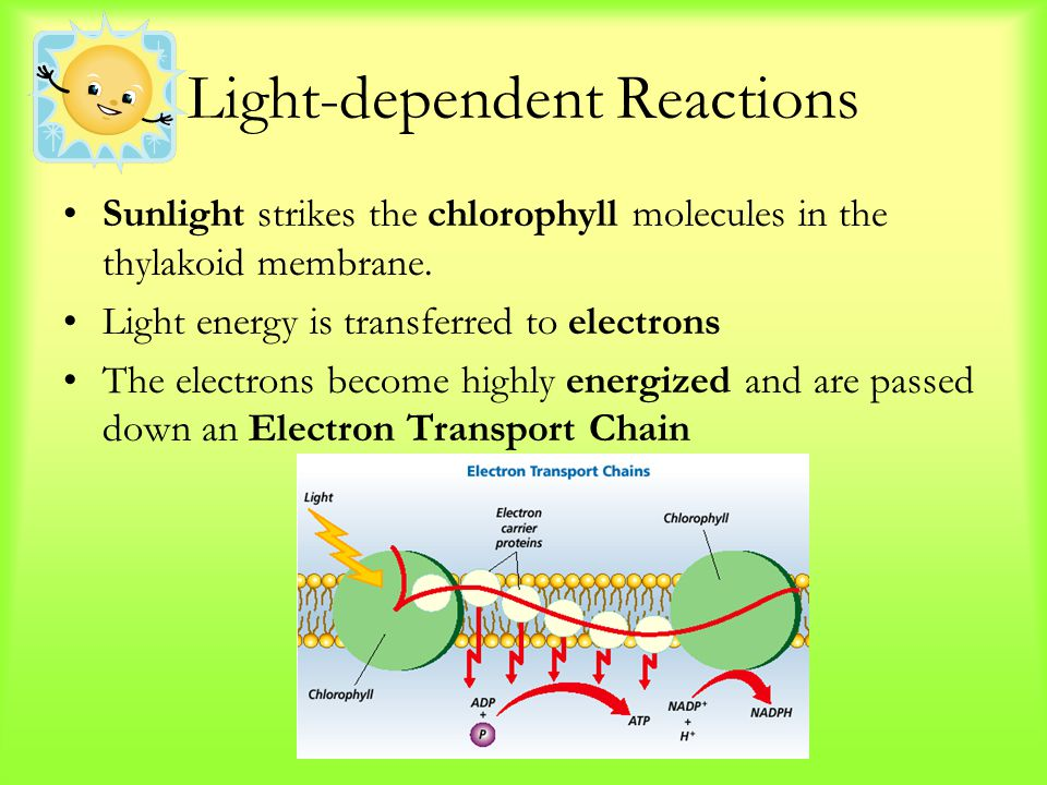 Light-dependent Reactions Sunlight strikes the chlorophyll molecules in the thylakoid membrane. Light energy is transferred to electrons The electrons