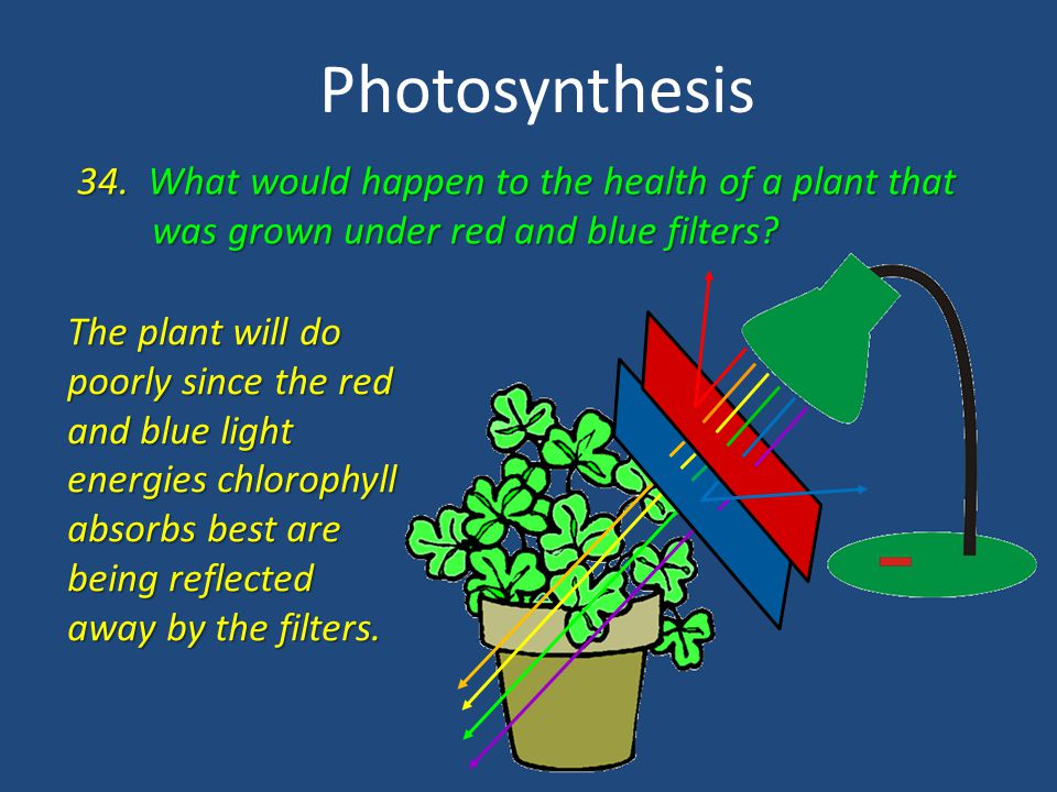 Photosynthesis 34. What would happen to the health of a plant that was grown under red and blue filters? was grown under red and blue filters? The pla