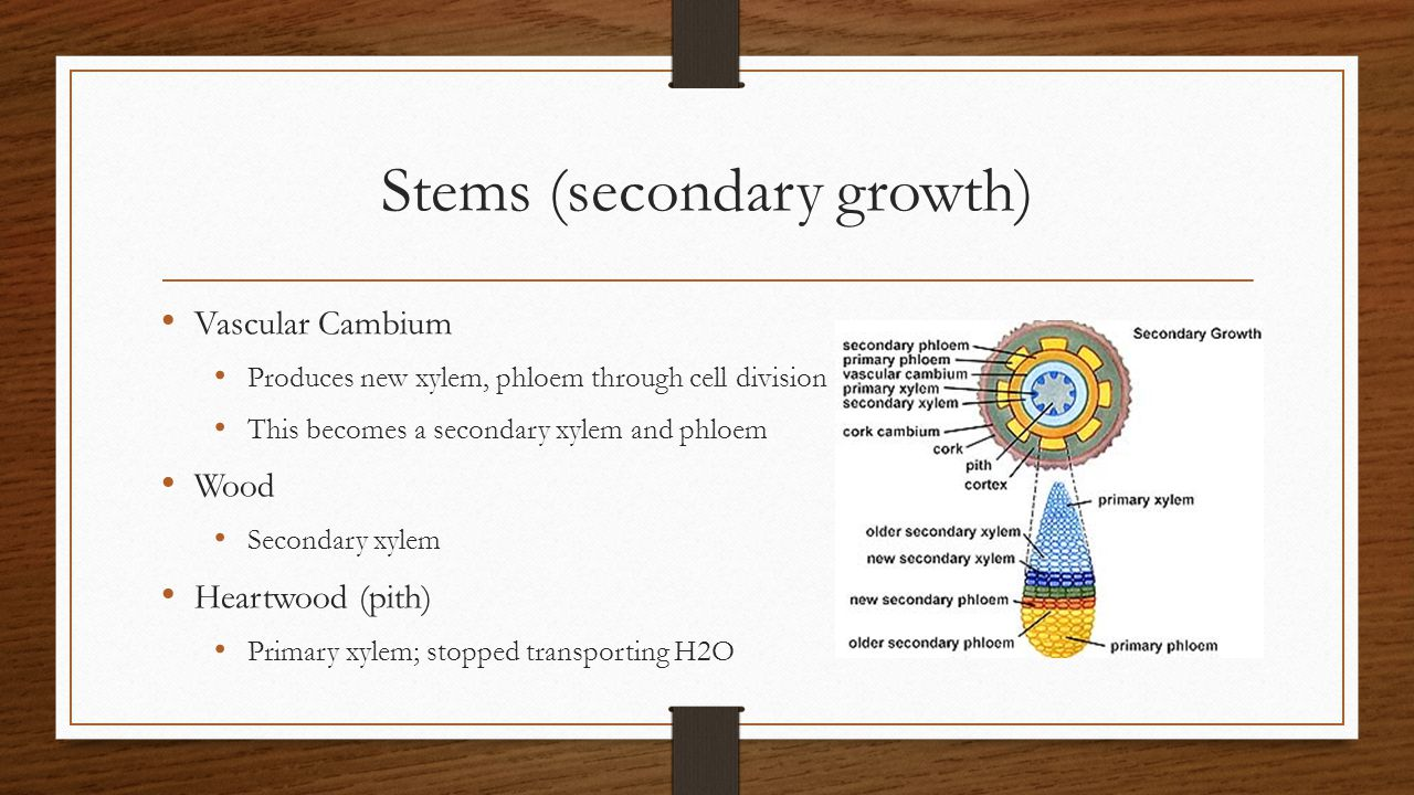 Stems (secondary growth) Vascular Cambium Produces new xylem, phloem through cell division This becomes a secondary xylem and phloem Wood Secondary xy