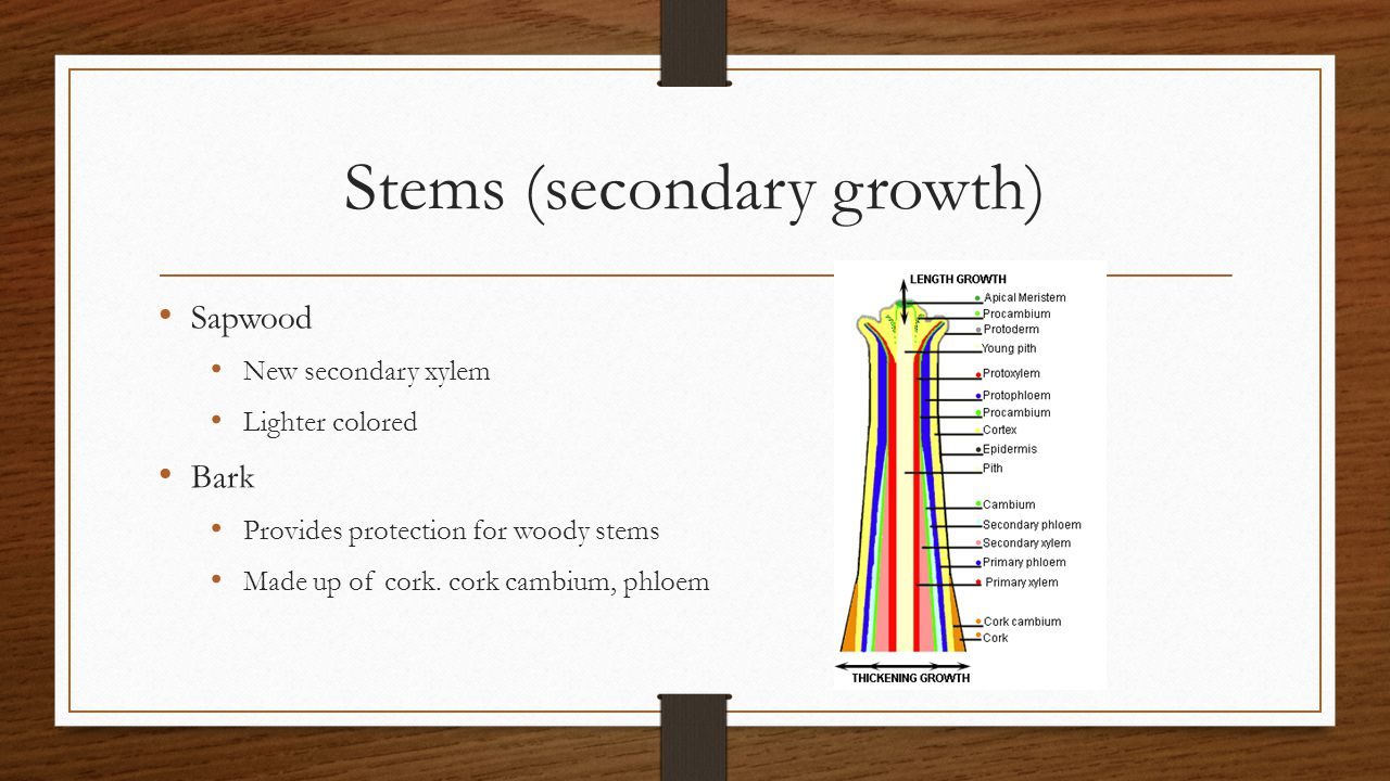 Stems (secondary growth) Sapwood New secondary xylem Lighter colored Bark Provides protection for woody stems Made up of cork. cork cambium, phloem