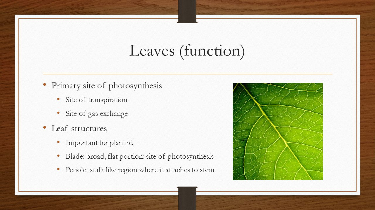 Leaves (function) Primary site of photosynthesis Site of transpiration Site of gas exchange Leaf structures Important for plant id Blade: broad, flat