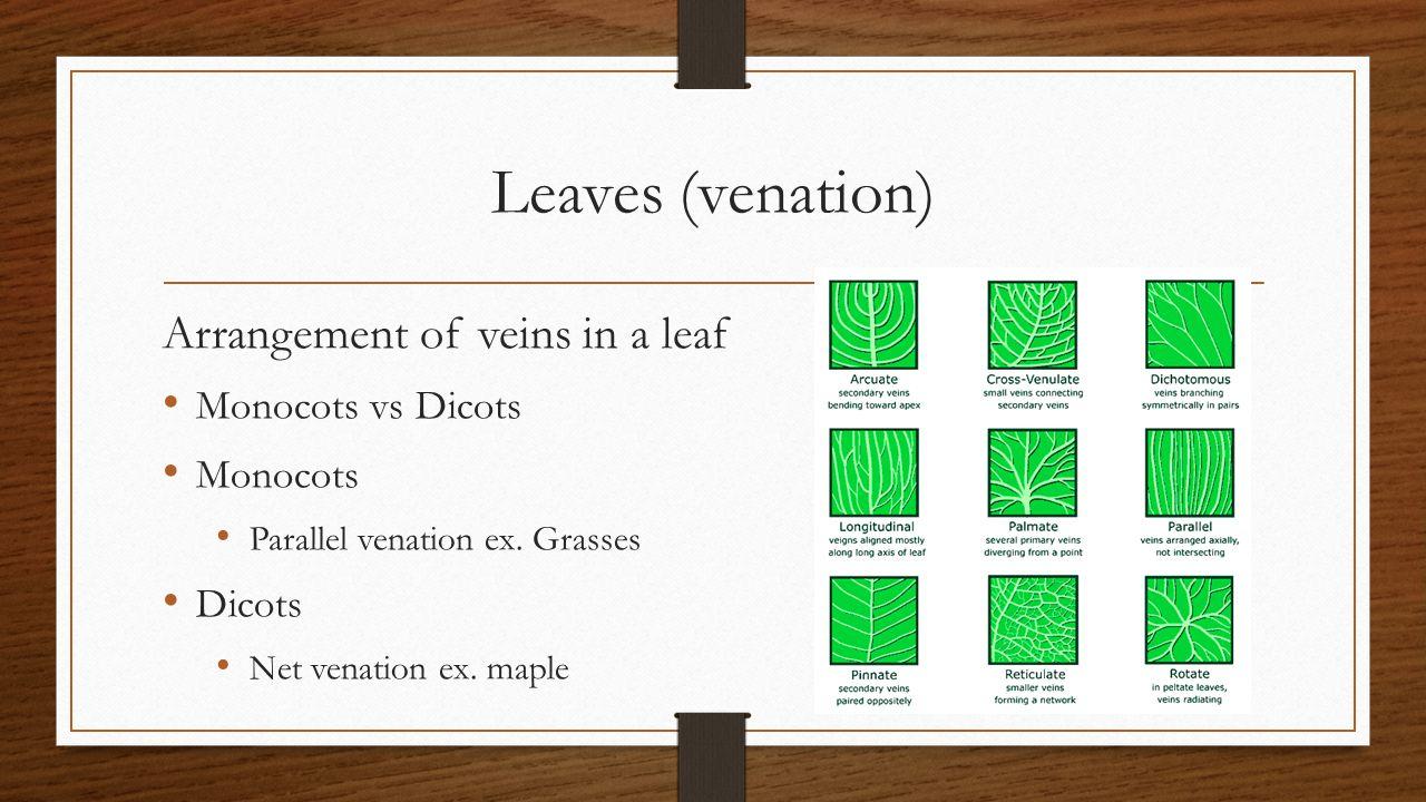 Leaves (venation) Arrangement of veins in a leaf Monocots vs Dicots Monocots Parallel venation ex. Grasses Dicots Net venation ex. maple