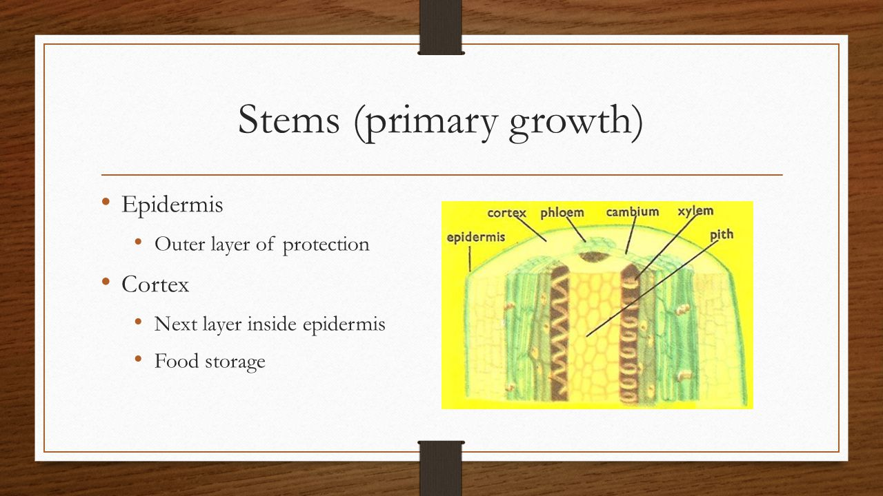 Stems (primary growth) Epidermis Outer layer of protection Cortex Next layer inside epidermis Food storage
