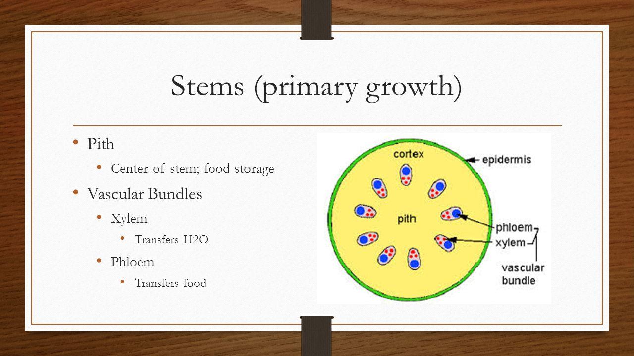 Stems (primary growth) Pith Center of stem; food storage Vascular Bundles Xylem Transfers H2O Phloem Transfers food
