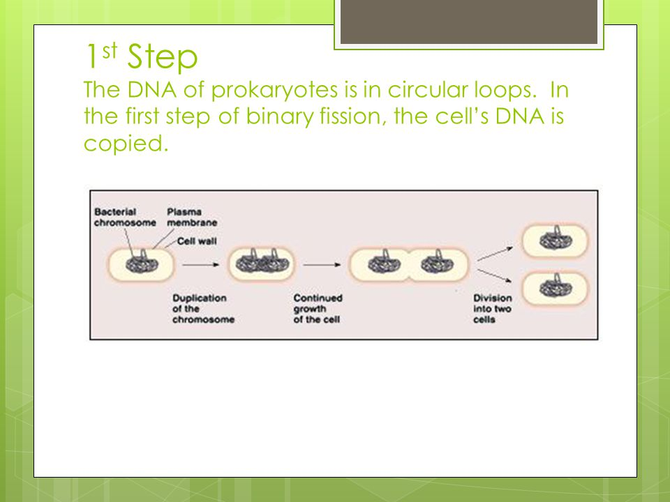 1 st Step The DNA of prokaryotes is in circular loops. In the first step of binary fission, the cell's DNA is copied.