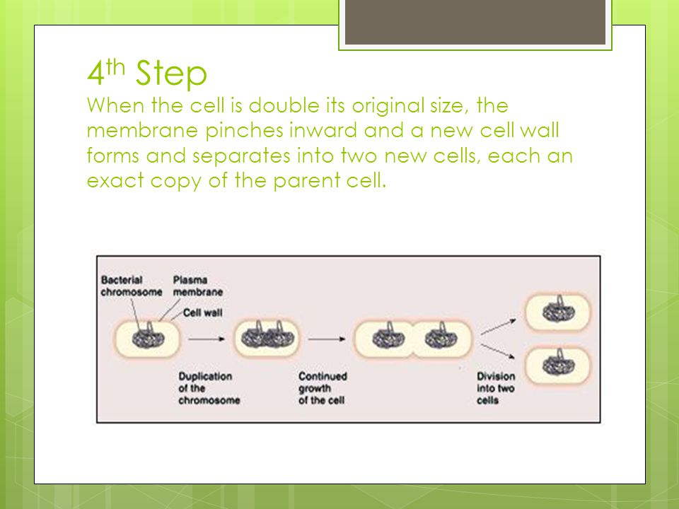 4 th Step When the cell is double its original size, the membrane pinches inward and a new cell wall forms and separates into two new cells, each an e