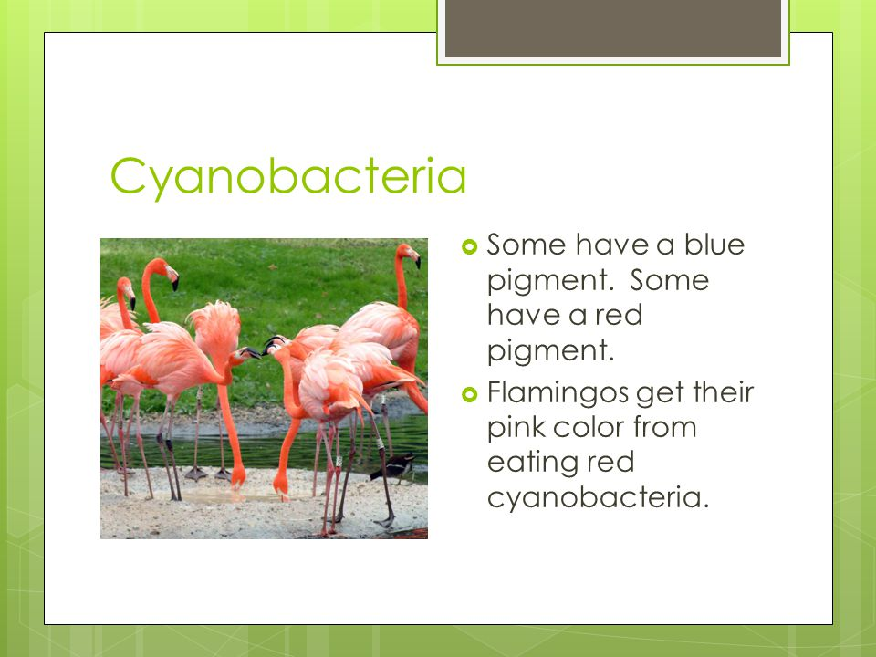 Cyanobacteria  Some have a blue pigment. Some have a red pigment.  Flamingos get their pink color from eating red cyanobacteria.