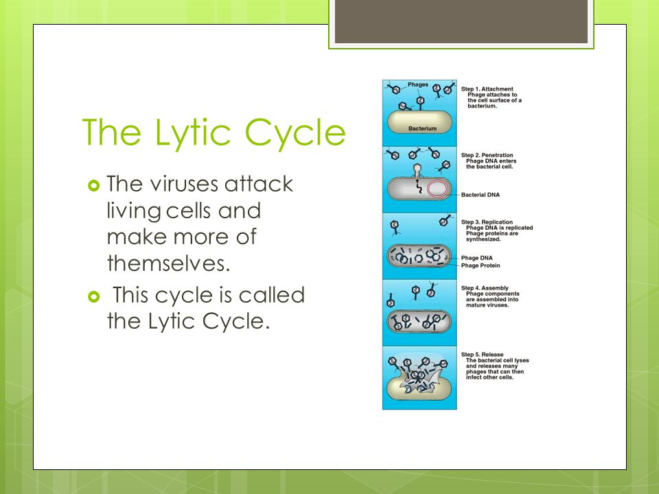 The Lytic Cycle  The viruses attack living cells and make more of themselves.  This cycle is called the Lytic Cycle.