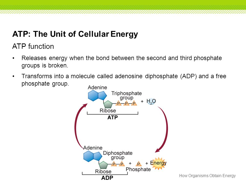 How Organisms Obtain Energy ATP: The Unit of Cellular Energy ATP function Releases energy when the bond between the second and third phosphate groups
