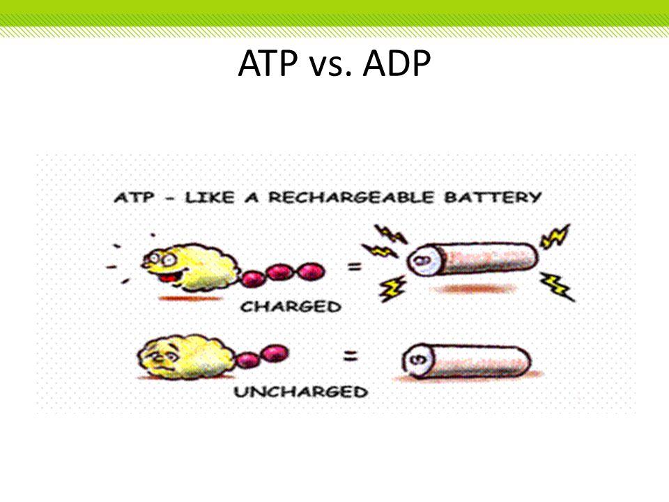ATP vs. ADP