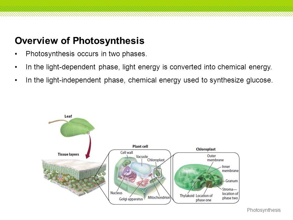 Photosynthesis Overview of Photosynthesis Photosynthesis occurs in two phases. In the light-dependent phase, light energy is converted into chemical e