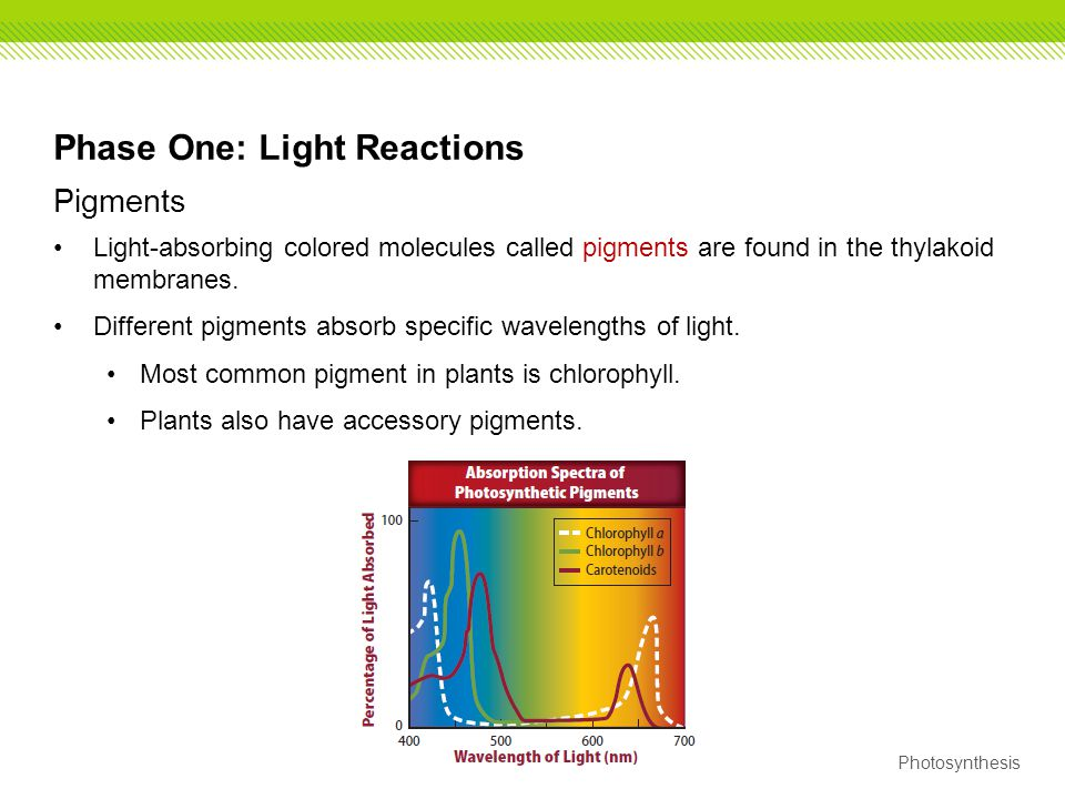 Photosynthesis Phase One: Light Reactions Pigments Light-absorbing colored molecules called pigments are found in the thylakoid membranes. Different p