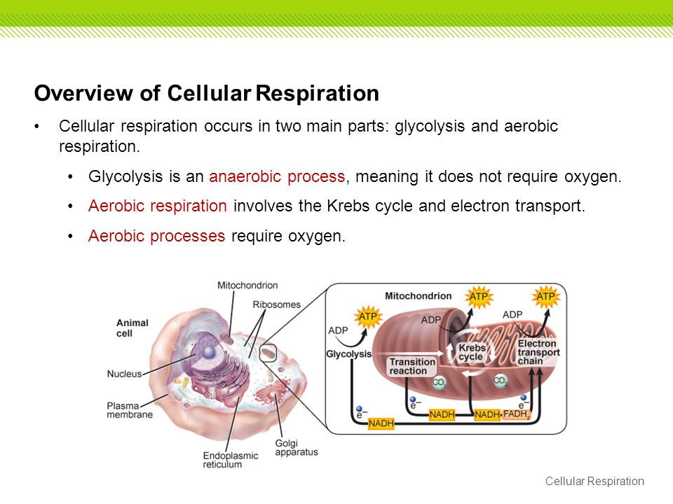 Overview of Cellular Respiration Cellular respiration occurs in two main parts: glycolysis and aerobic respiration. Glycolysis is an anaerobic process