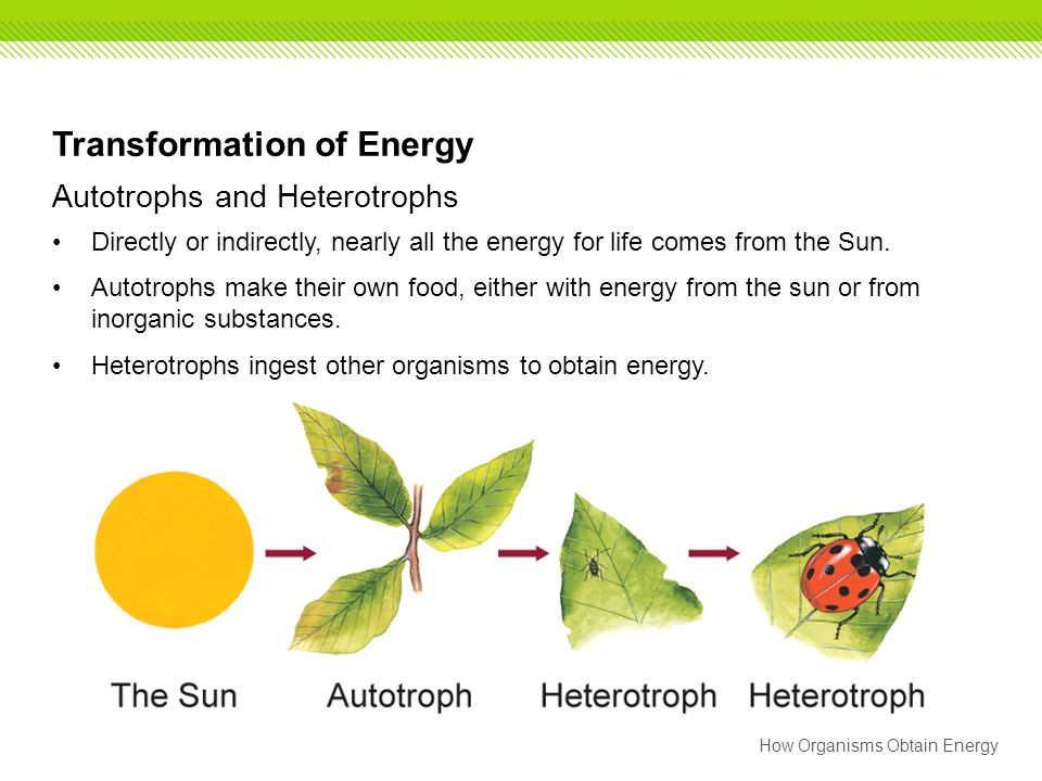 How Organisms Obtain Energy Transformation of Energy Autotrophs and Heterotrophs Directly or indirectly, nearly all the energy for life comes from the