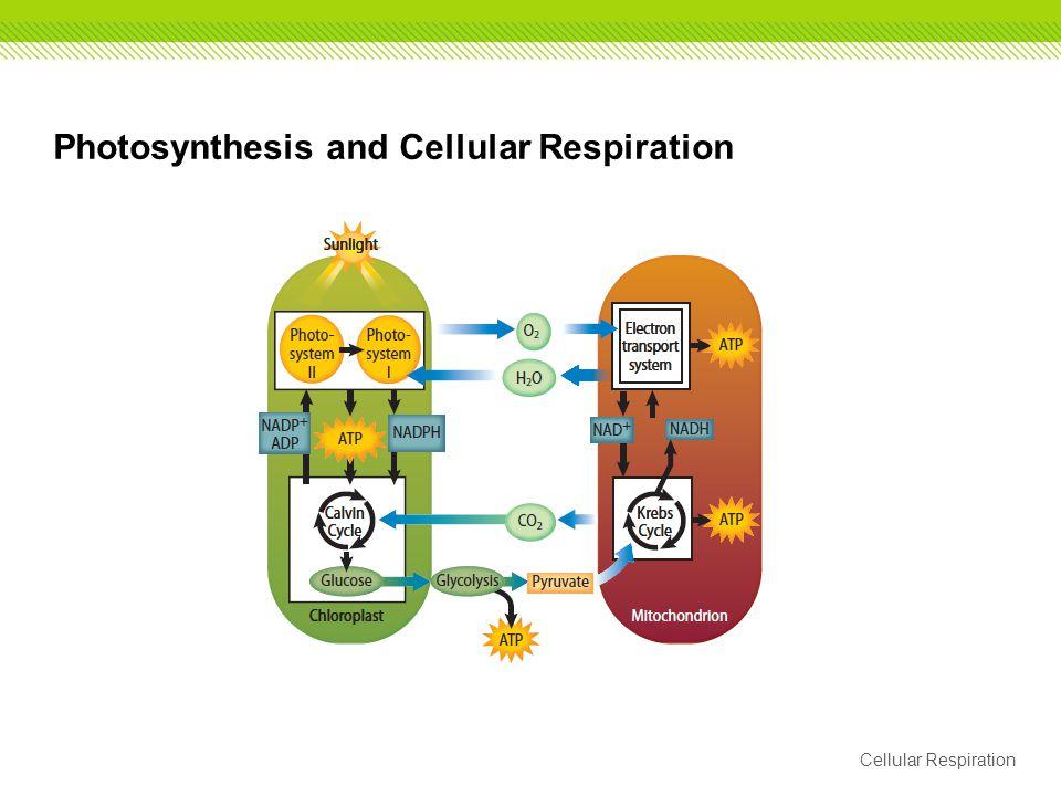 Photosynthesis and Cellular Respiration Cellular Respiration
