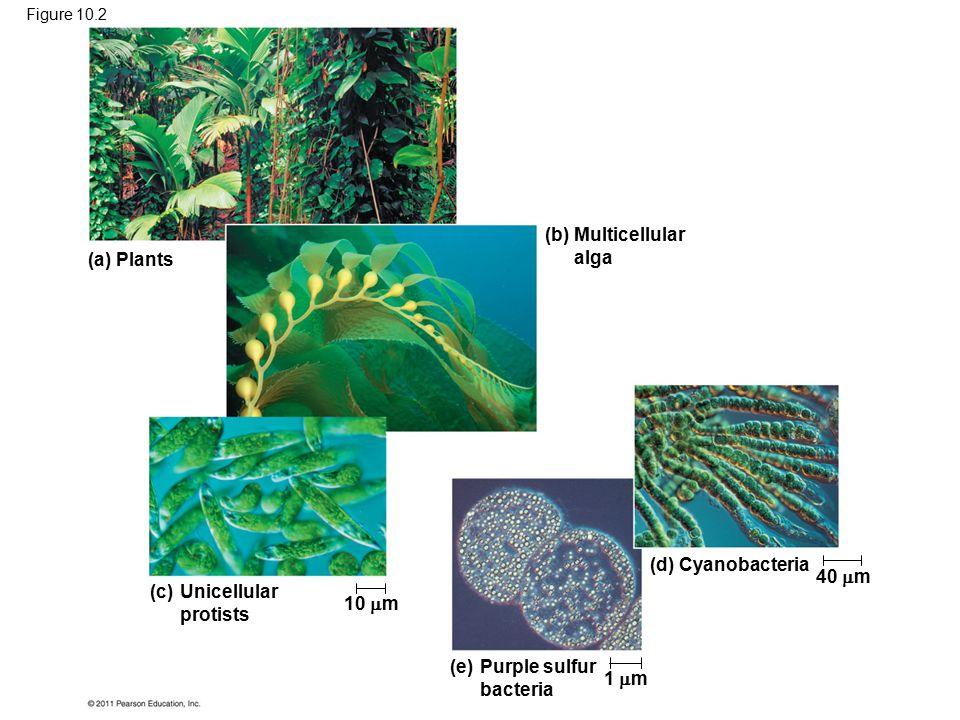 (a) Plants (b)Multicellular alga (c)Unicellular protists (d) Cyanobacteria (e)Purple sulfur bacteria 10  m 1  m 40  m Figure 10.2