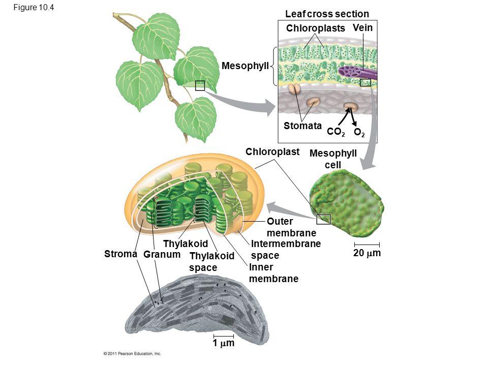 Figure 10.4 Mesophyll Leaf cross section Chloroplasts Vein Stomata Chloroplast Mesophyll cell CO 2 O2O2 20  m Outer membrane Intermembrane space Inner membrane 1  m Thylakoid space Thylakoid Granum Stroma