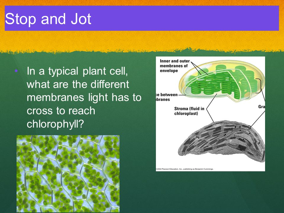 In a typical plant cell, what are the different membranes light has to cross to reach chlorophyll? Stop and Jot