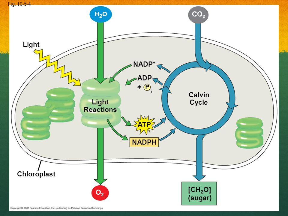 Light Fig. 10-5-4 H2OH2O Chloroplast Light Reactions NADP + P ADP i + ATP NADPH O2O2 Calvin Cycle CO 2 [CH 2 O] (sugar)