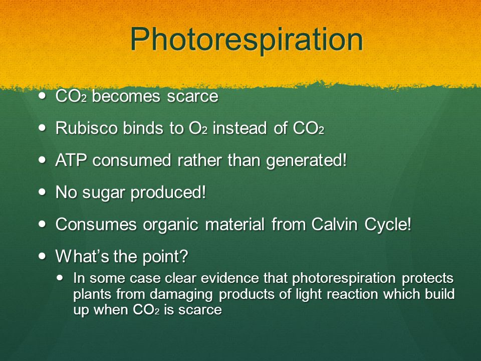 Photorespiration CO 2 becomes scarce CO 2 becomes scarce Rubisco binds to O 2 instead of CO 2 Rubisco binds to O 2 instead of CO 2 ATP consumed rather