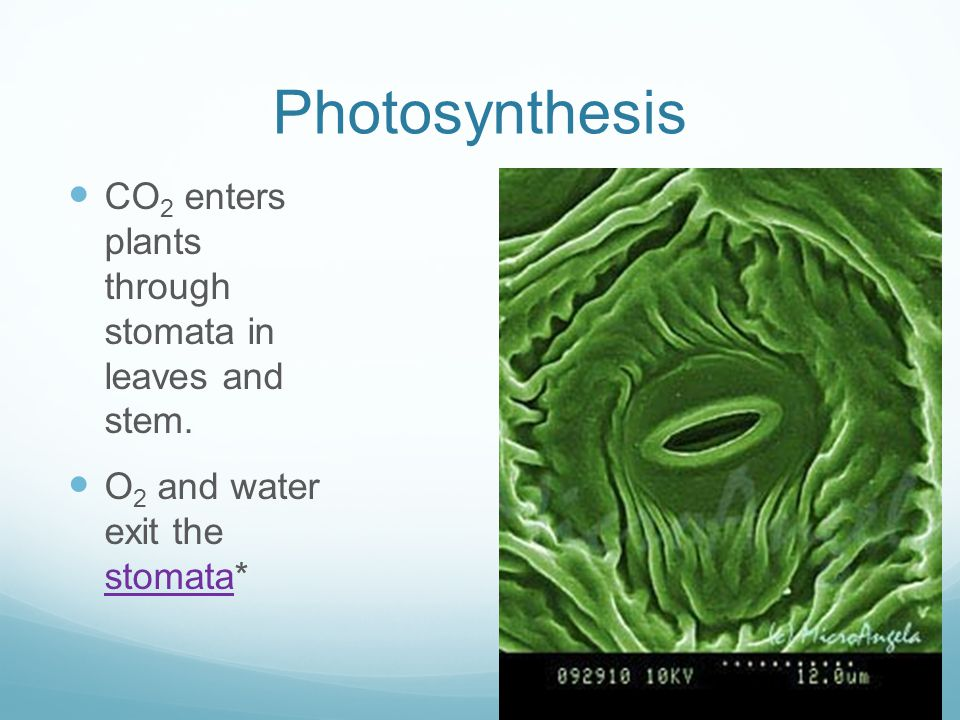 Photosynthesis CO 2 enters plants through stomata in leaves and stem.