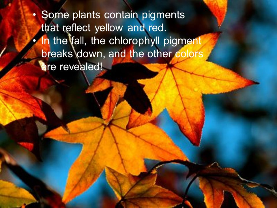 If plants contain chlorophyll why do they turn color in the fall.