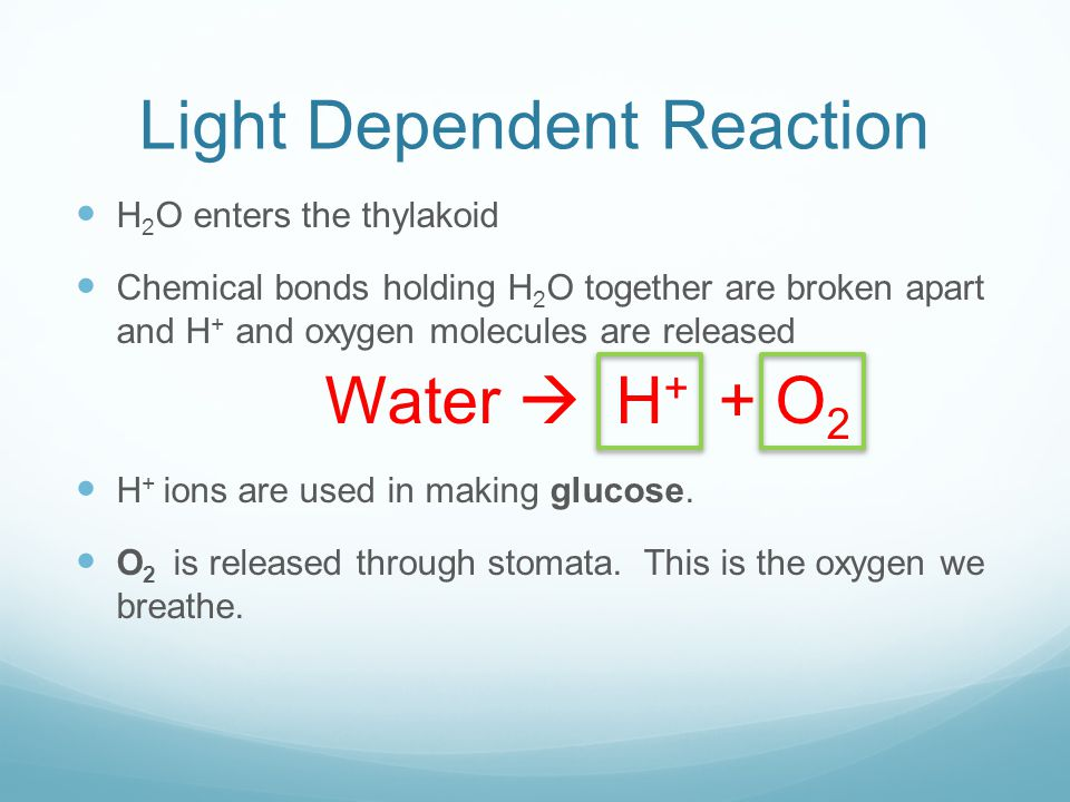 Light Dependent Reaction H 2 O enters the thylakoid Chemical bonds holding H 2 O together are broken apart and H + and oxygen molecules are released Water  H + + O 2 H + ions are used in making glucose.