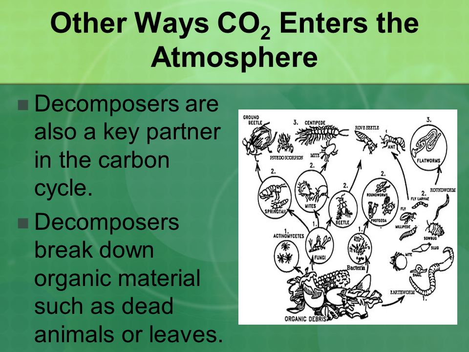 Other Ways CO 2 Enters the Atmosphere Decomposers are also a key partner in the carbon cycle. Decomposers break down organic material such as dead ani