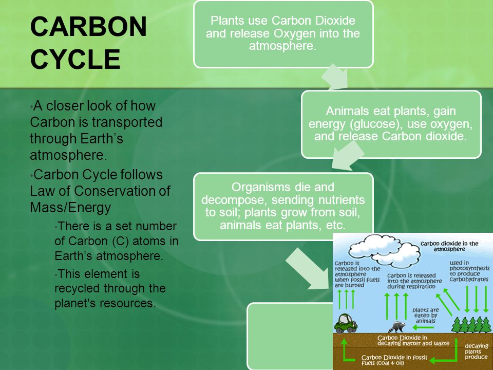 CARBON CYCLE Plants use Carbon Dioxide and release Oxygen into the atmosphere. Animals eat plants, gain energy (glucose), use oxygen, and release Carb