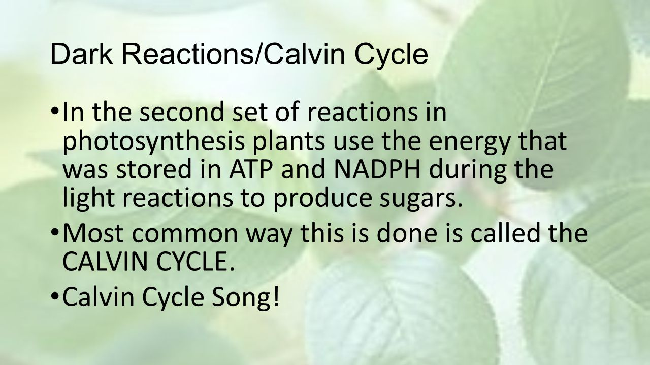 Dark Reactions/Calvin Cycle In the second set of reactions in photosynthesis plants use the energy that was stored in ATP and NADPH during the light r
